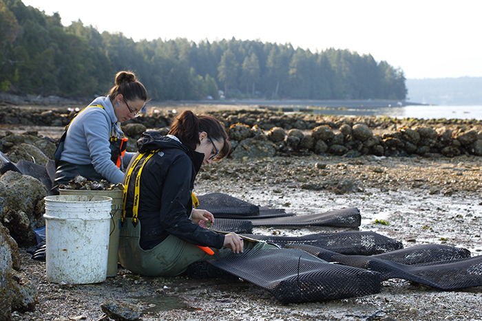 Students work on the beach in order to protect oysters from crab predation